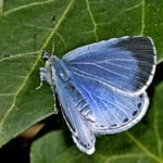 Holly Blue butterfly by Jeremy Early