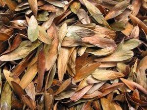 Ash seeds (keys)