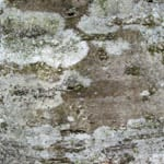 Rowan bark