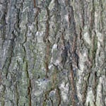 Sessile oak bark