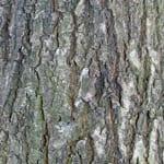 Sessile oak bark