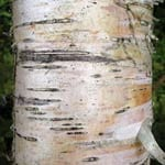 Downy birch bark