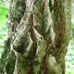 Elder bark