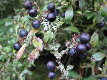 Sloe berries on branch