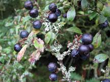 Sloe berries on branch
