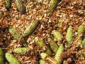 Downy birch seeds