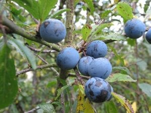 Blackthorn berries (sloes) on the plant
