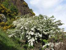 Hawthorn on hillside