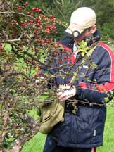 Collecting hawthorn berries