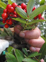 Collecting rowan berries