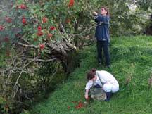 Collecting rowan berries