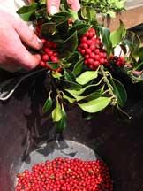 Separating holly berries