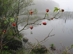 Dog rose hips in autumn