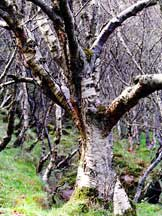 Downy birch tree