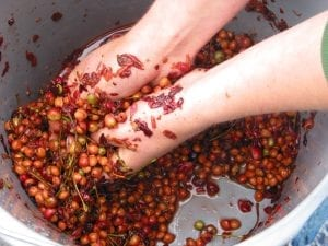 Extracting cherry seeds by hand