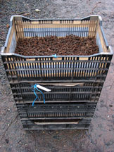 Alder cones drying in crates