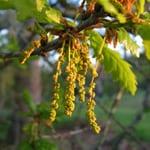 Pedunculate oak flowers