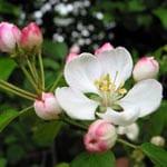 Crab apple flower