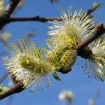 Grey willow flowers