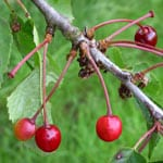 Wild cherry fruits