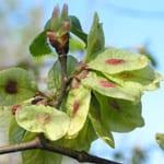 Wych elm fruits