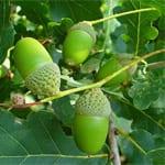 Pedunculate oak acorns