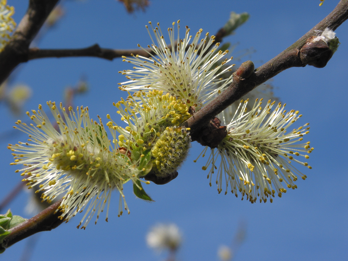 Goat Willow How To Grow Trees