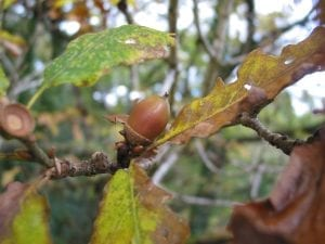 An acorn ready to fall from a sessile oak tree