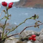 Dog rose fruits