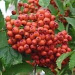 Rowan fruits