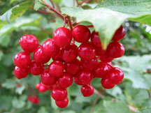 Guelder rose fruits