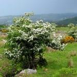 Hawthorn on hillside