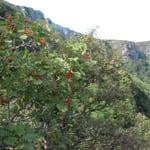 Rowan on hillside