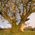 Large old pedunculate oak tree