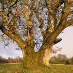 Large old pedunculate oak tree
