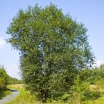 Goat willow tree