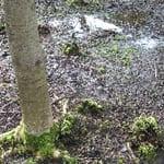 Aspen growing in wet ground