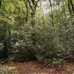 Holly trees in woodland