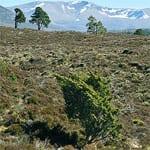Juniper on hillside