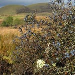 Blackthorn thicket