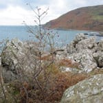 Dog rose growing by the sea