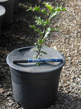 Young holly growing in a pot