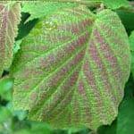 Hazel leaf