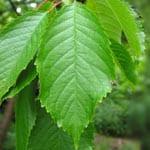 Wild cherry leaf