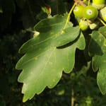 Sessile oak leaf