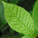 Bird cherry leaf