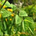 Dog rose leaf