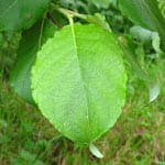 Goat willow leaf