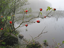Dog Rose by Lough Beg, Northern Ireland