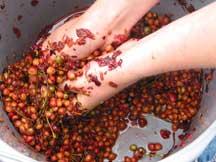 Squashing cherries by hand